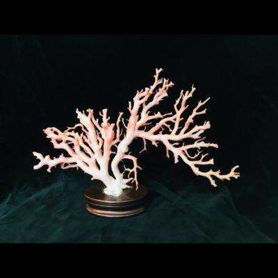 Magnifique branche de corail « peau d'ange » ou « peau de pèche »
